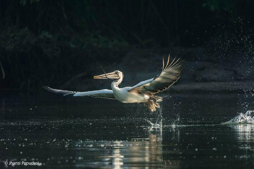 Wildlife Photography: Pelican in Flight, Ranganathittu