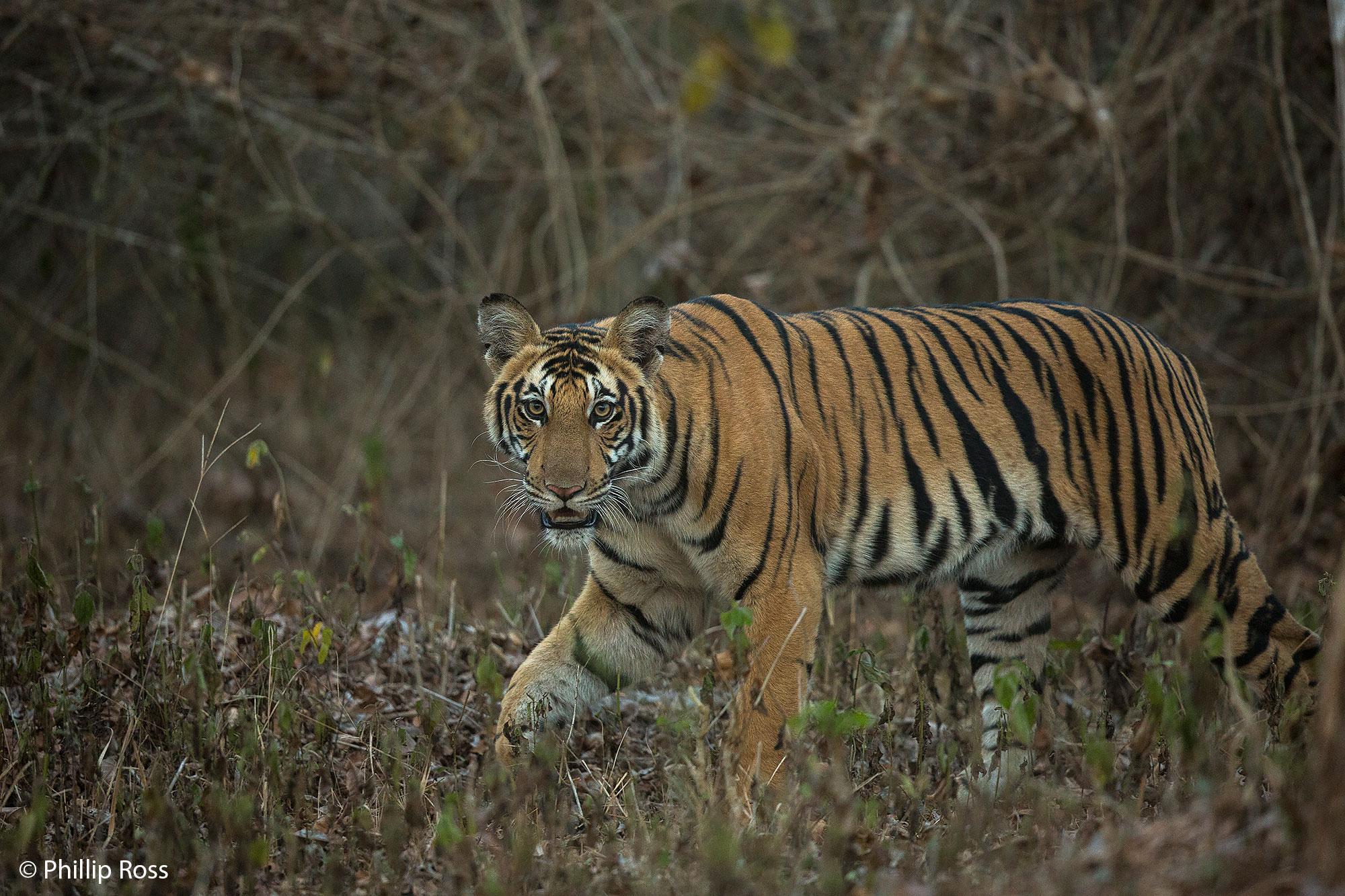 Tiger - Kabini Wildlife Photography Tour