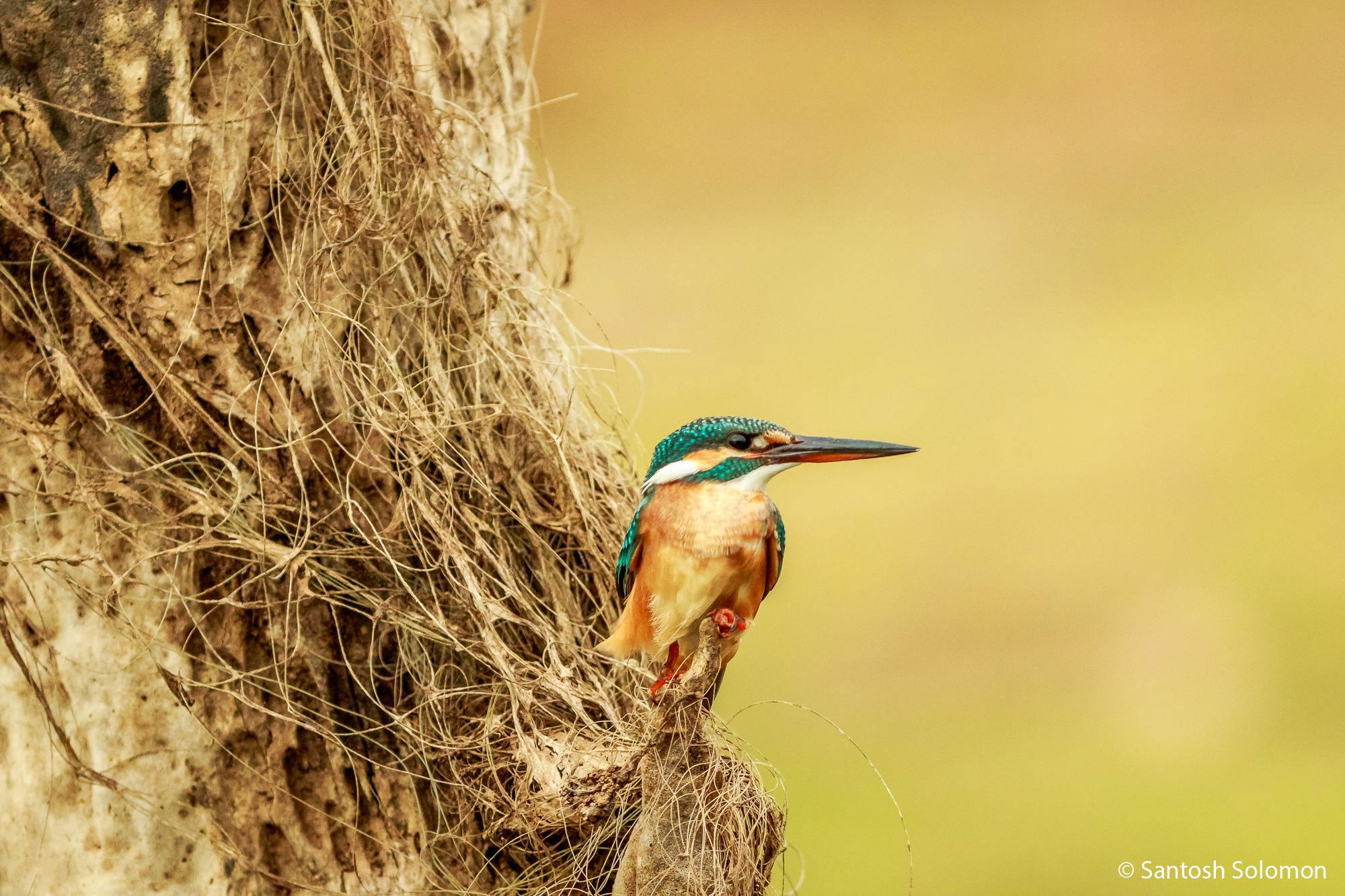 Kingfisher - Kabini Wildlife Photography
