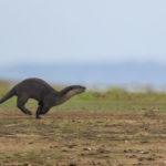 Otter, Kabini