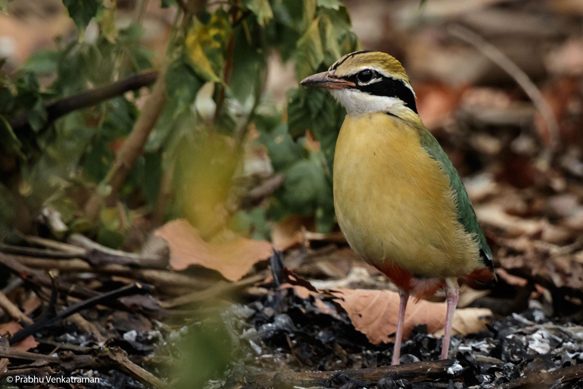 Indian pitta, Kabini Wildlife Photography Tour