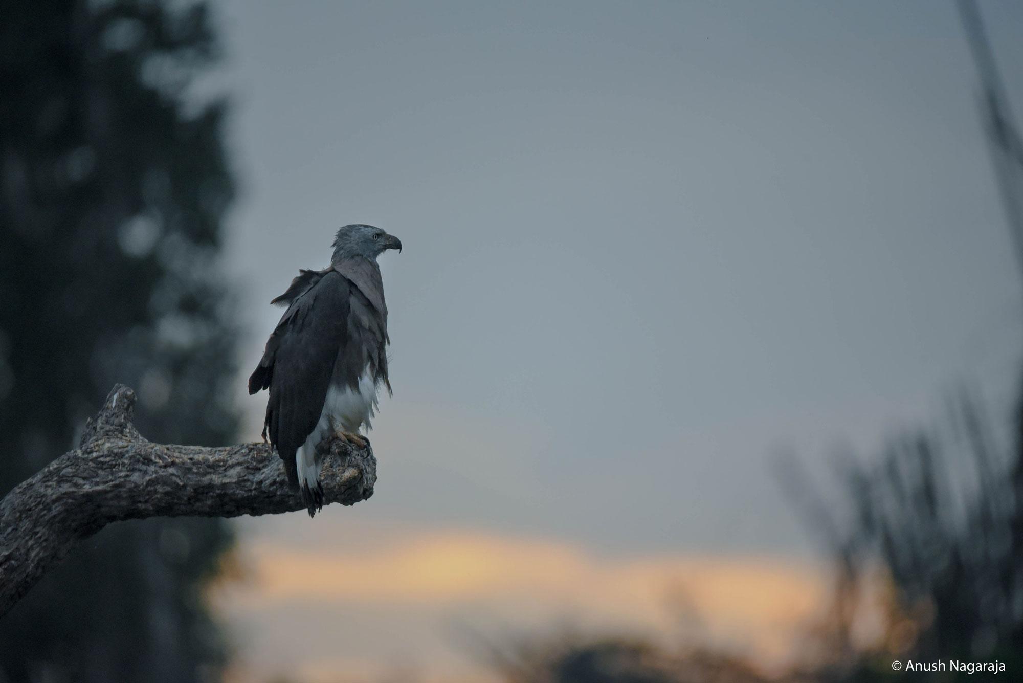 Grey-headed fish eagle, Kabini