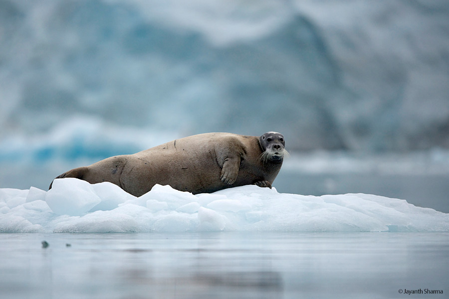 bearded seal jayanth sharma svalbard 2021