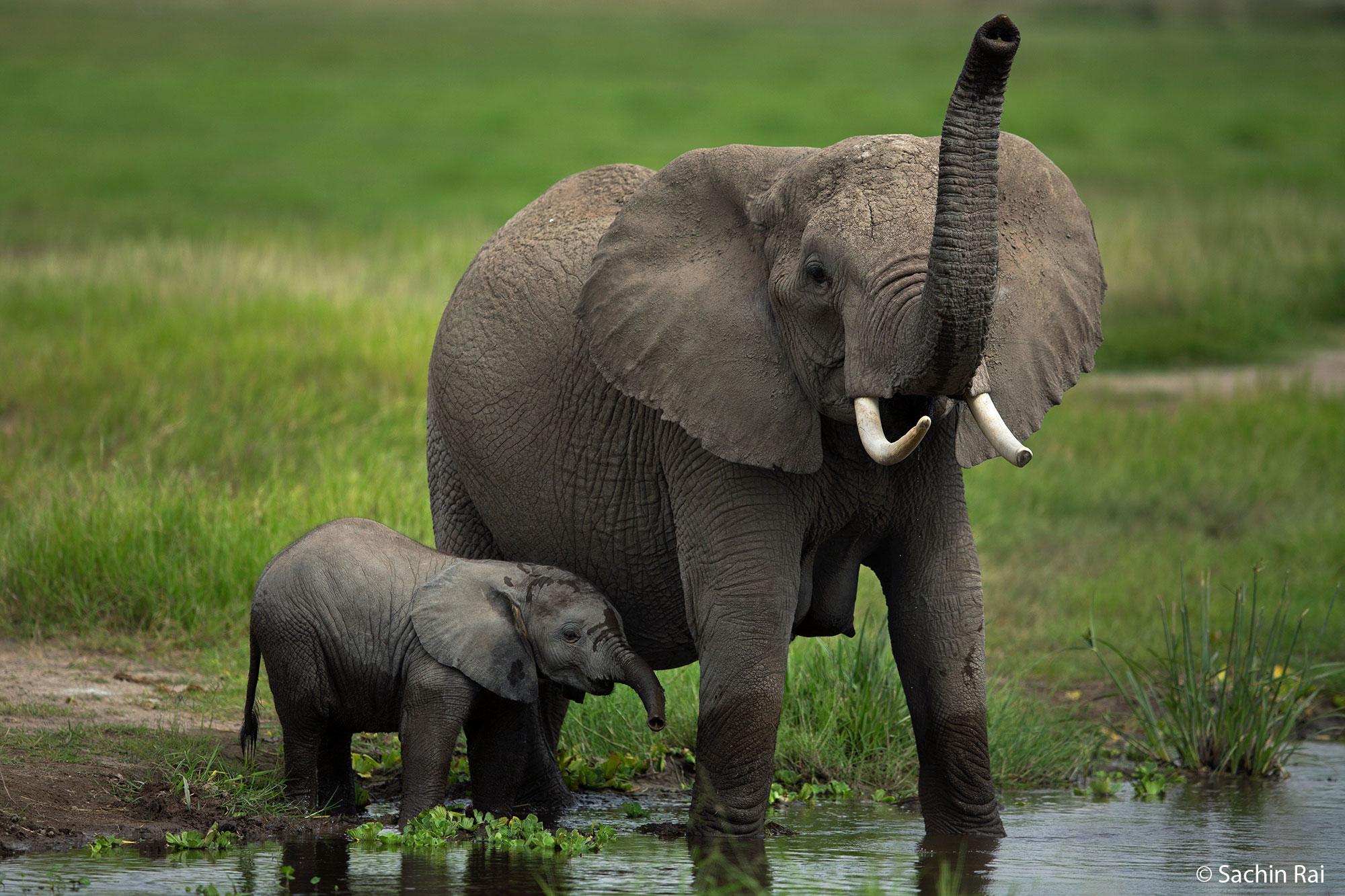 Amboseli - African Elephants