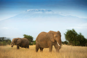 Amboseli Elephants, Santosh Saligram
