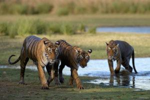 T19 Krishna and Cubs, Ranthambhore. Santosh Saligram