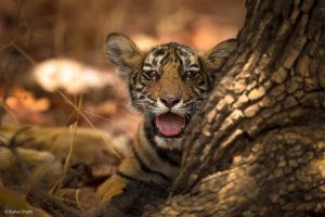 Tiger cub, Ranthambhore