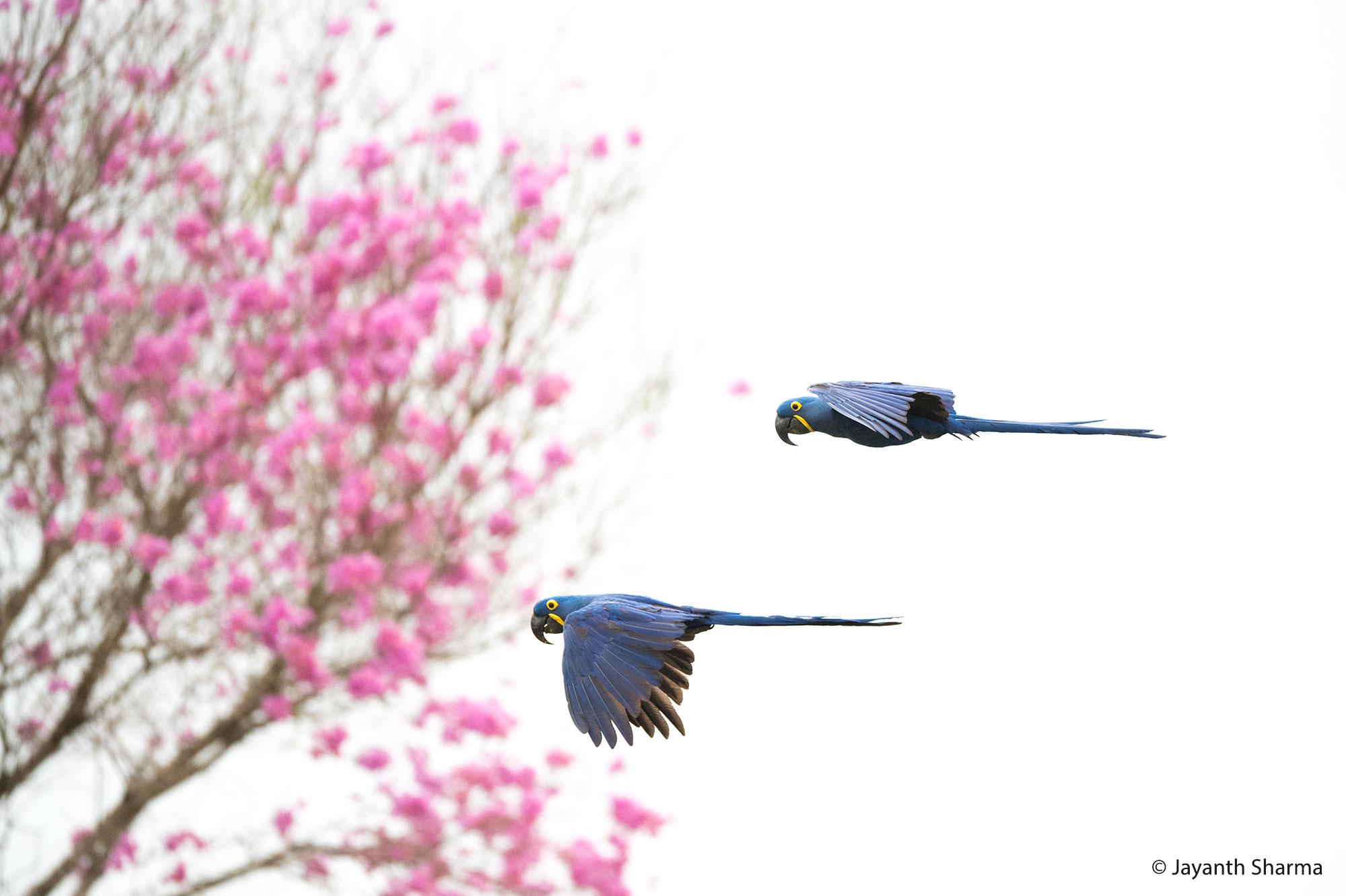 Hyacinth macaws, Pantanal