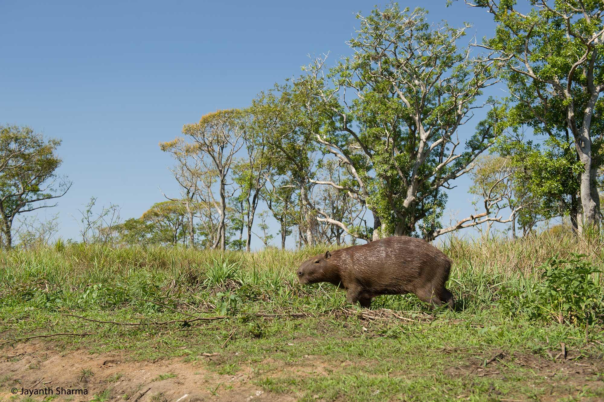 Capybara, Pantanal