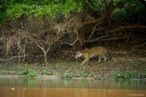 Jaguar stalking in the Pantanal
