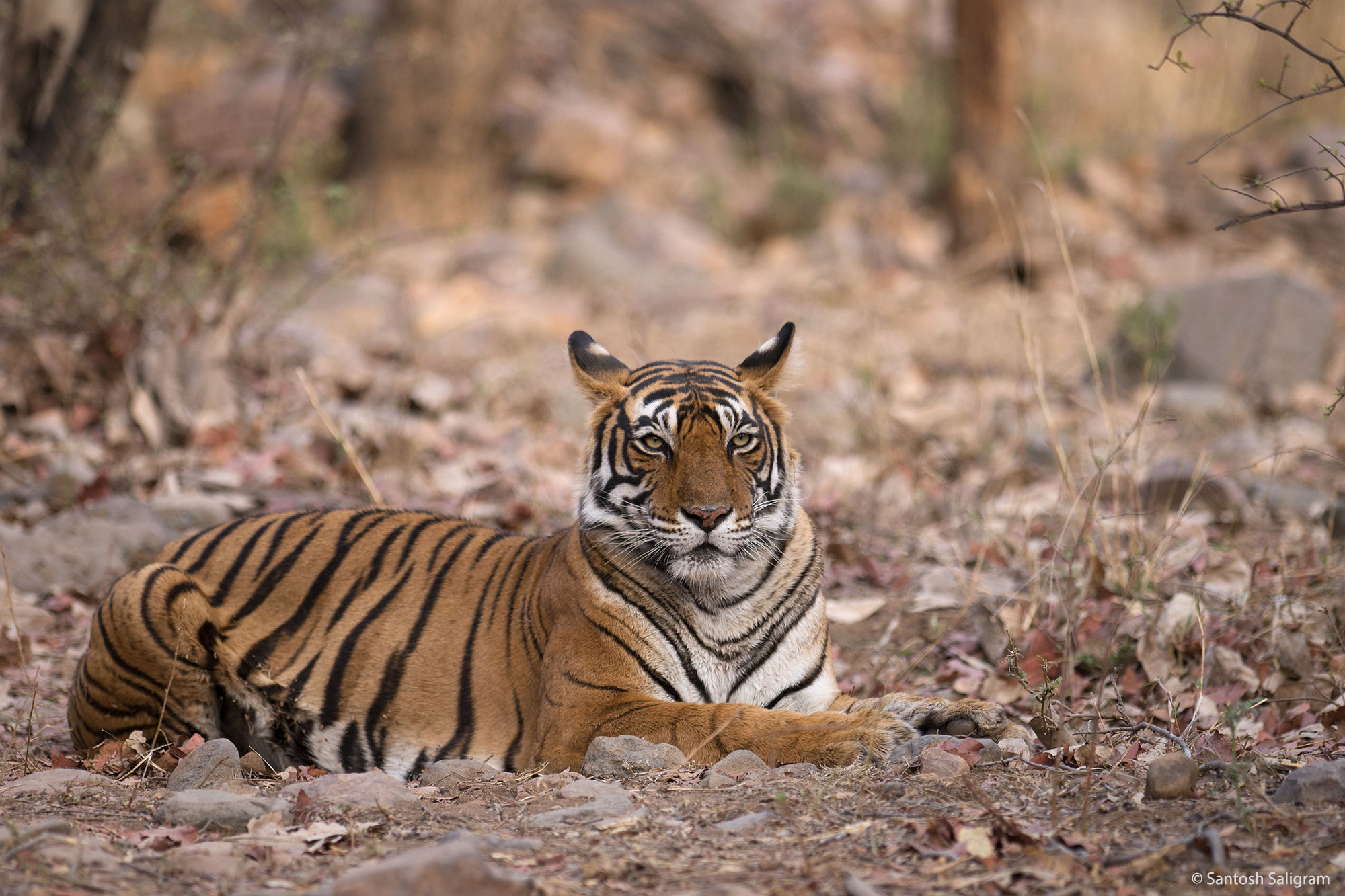 Tigress Noor (T39) in Ranthambhore Tiger Reserve