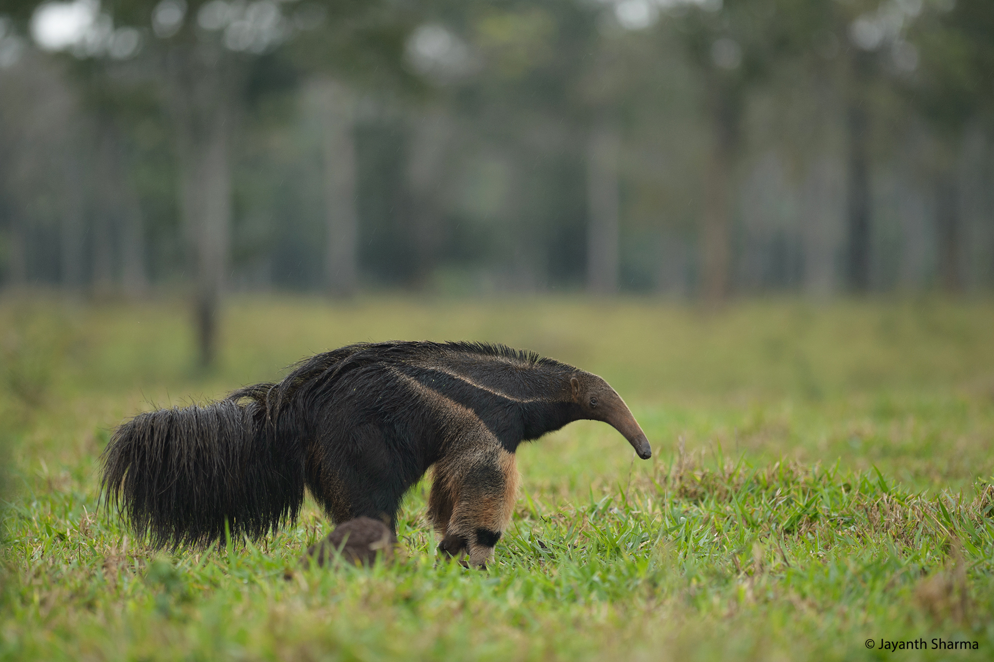 Giant Anteater, Pantanal
