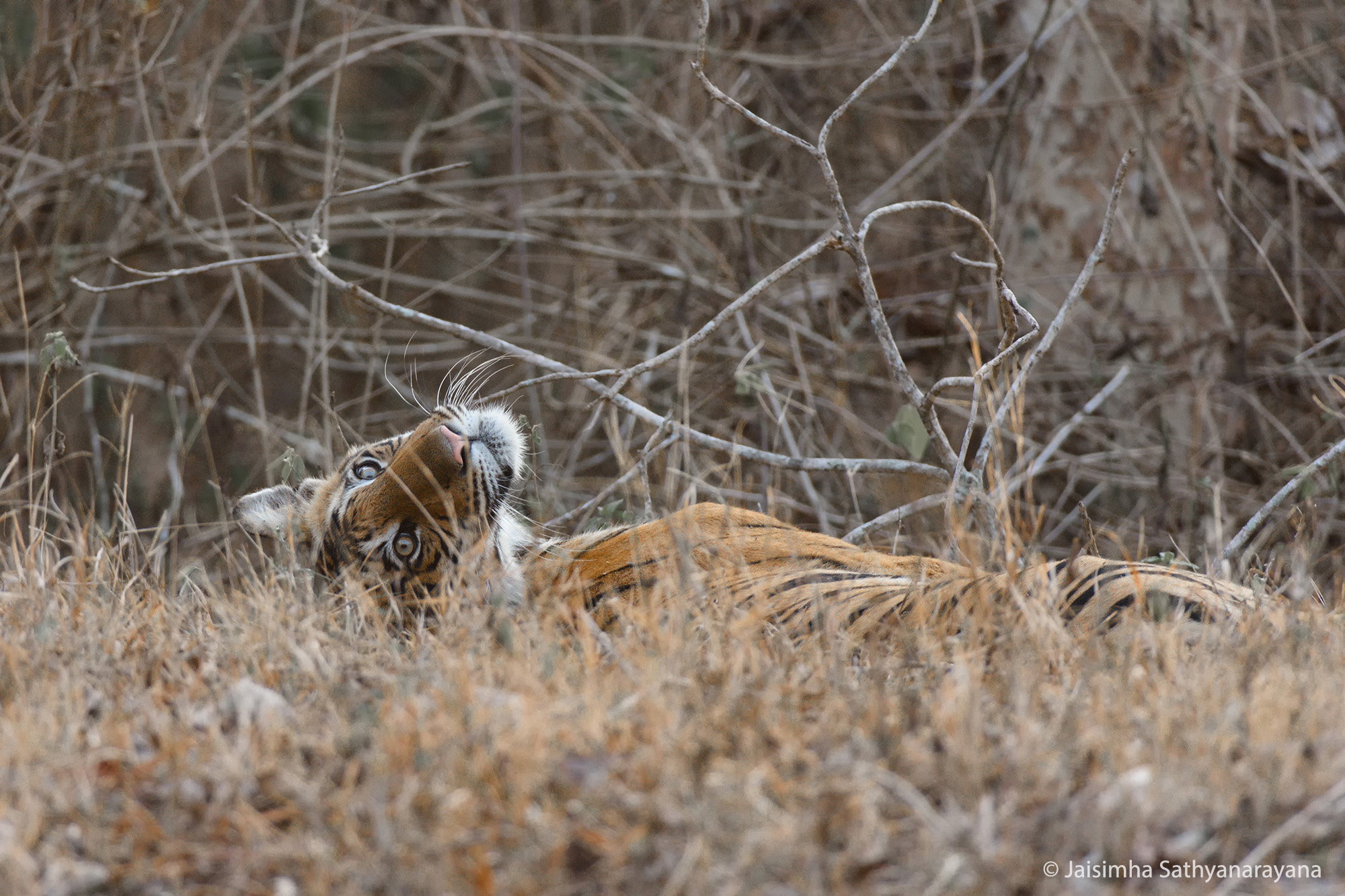 Tiger, Jaisimha Sathyanarayana