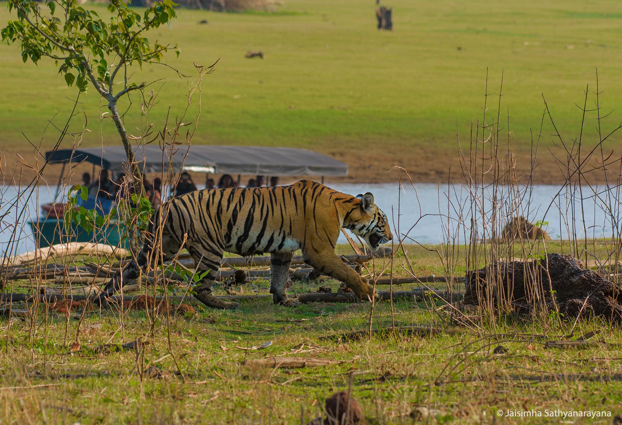 Tiger Kabini, Jaisimha Sathyanarayana