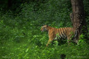 Tigress-Kabini