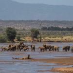 elephants-mating-samburu