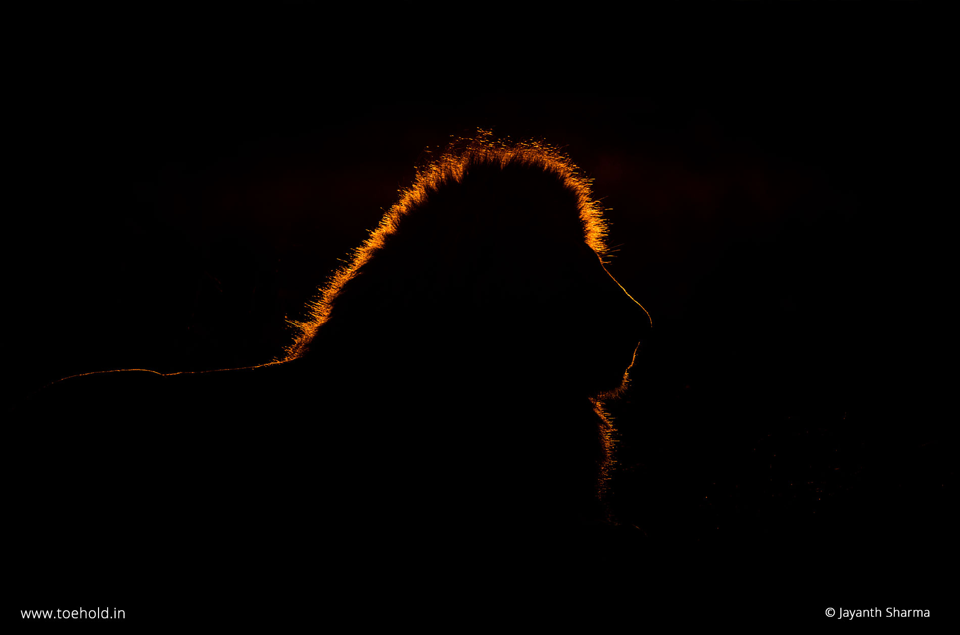 Rim-lit lion, Masai Mara, Kenya, by Jayanth Sharma