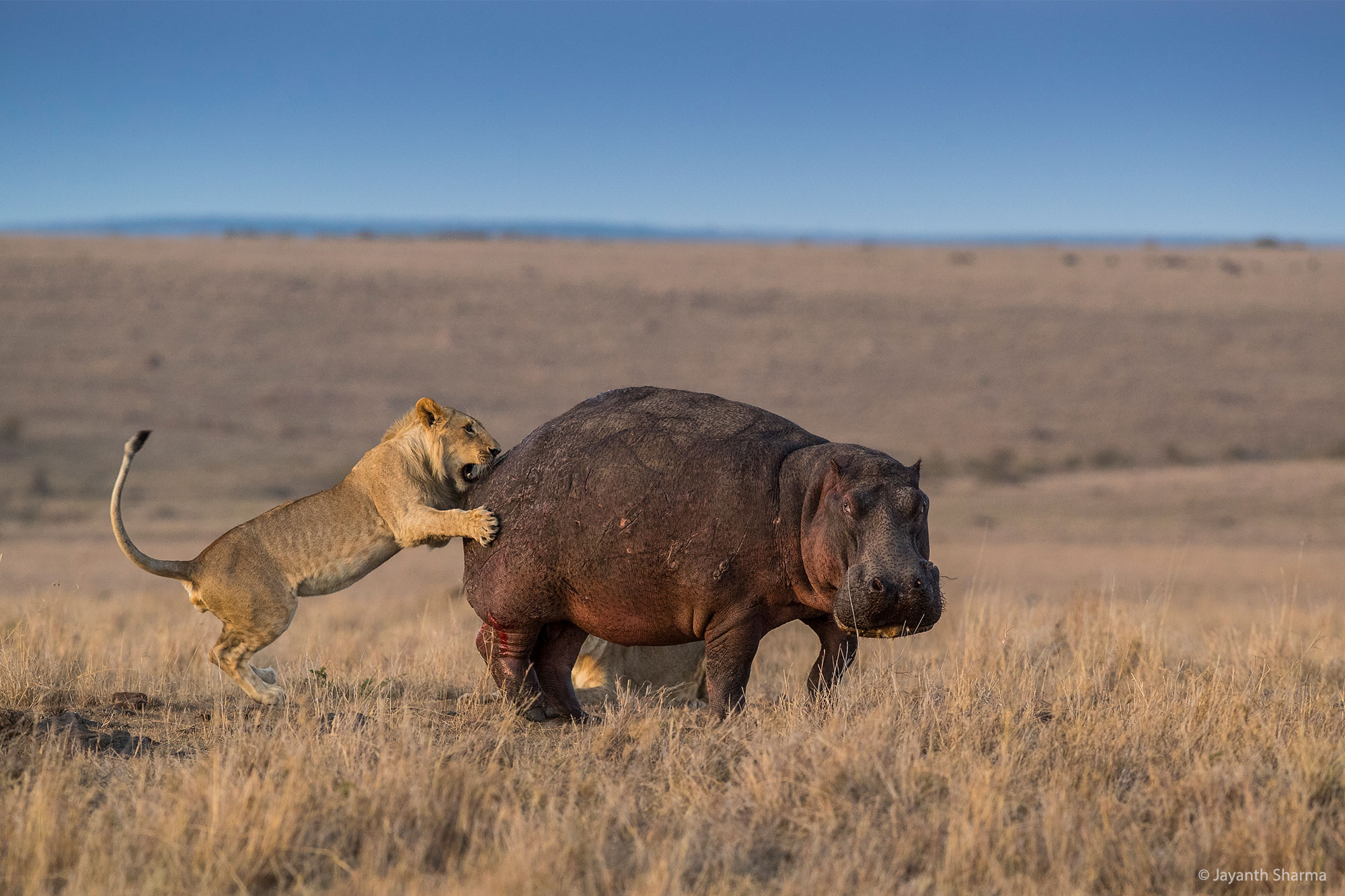 Lion Hunting Hippo, Masai Mara, Kenya. By Jayanth Sharma.