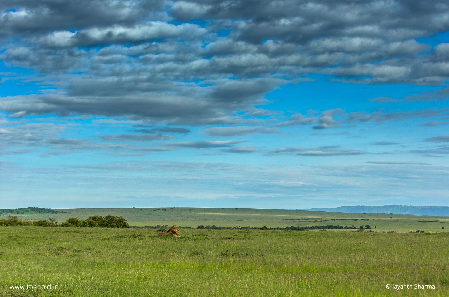 Lion on short green grass, Masai Mara