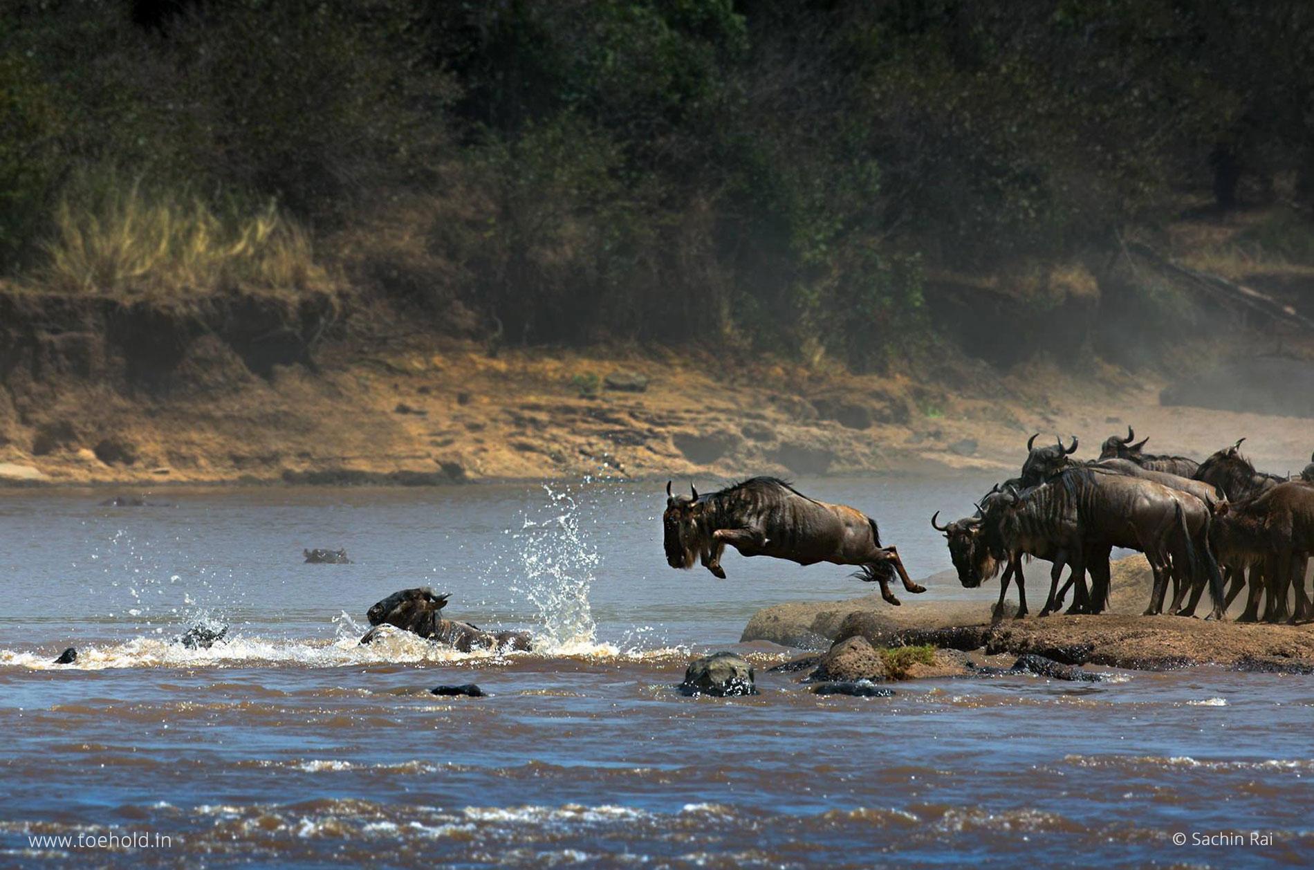 Wildebeest Jump, Masai Mara Migration