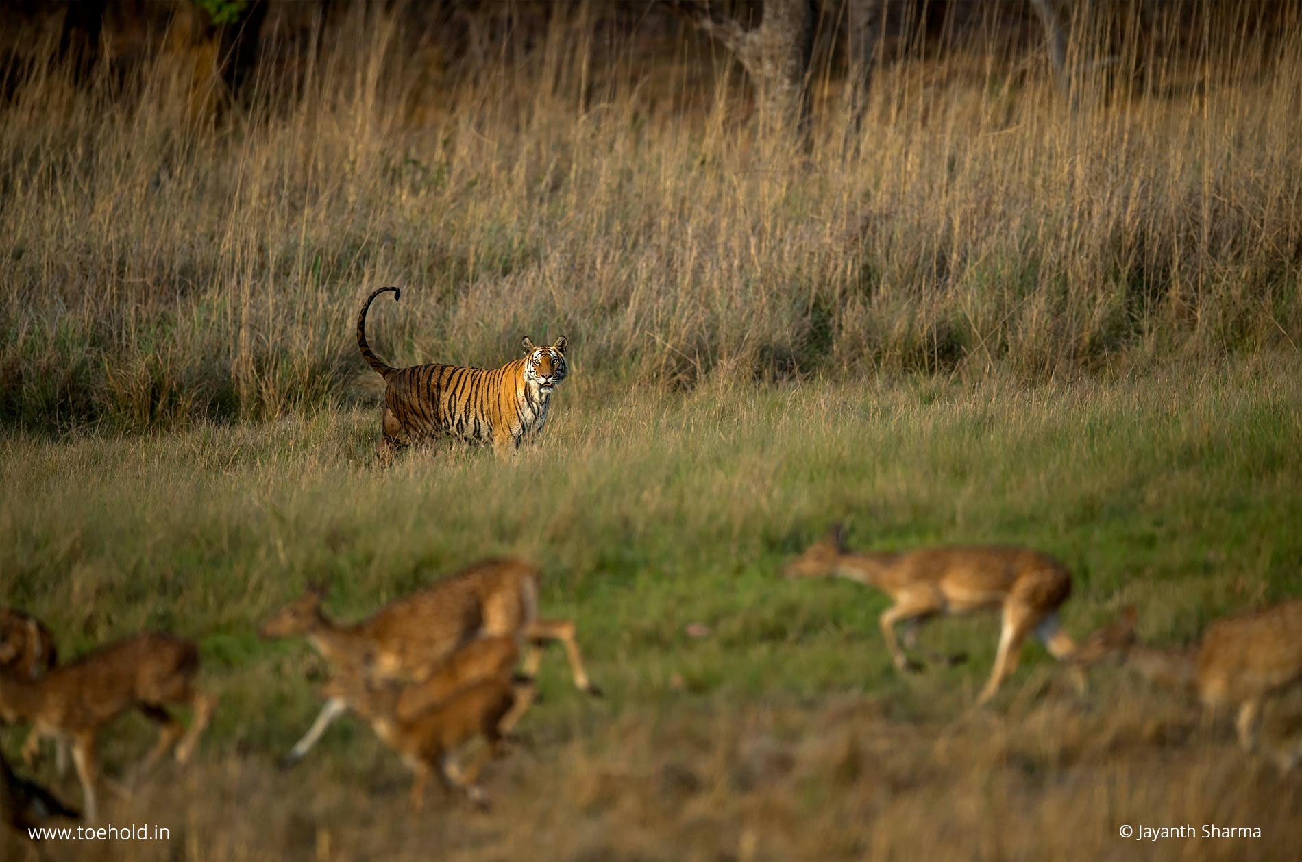 Rajbehra tiger, Bandhavgarh