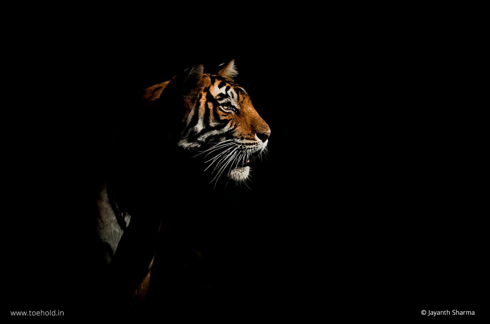 Tiger spot-light, Ranthambhore