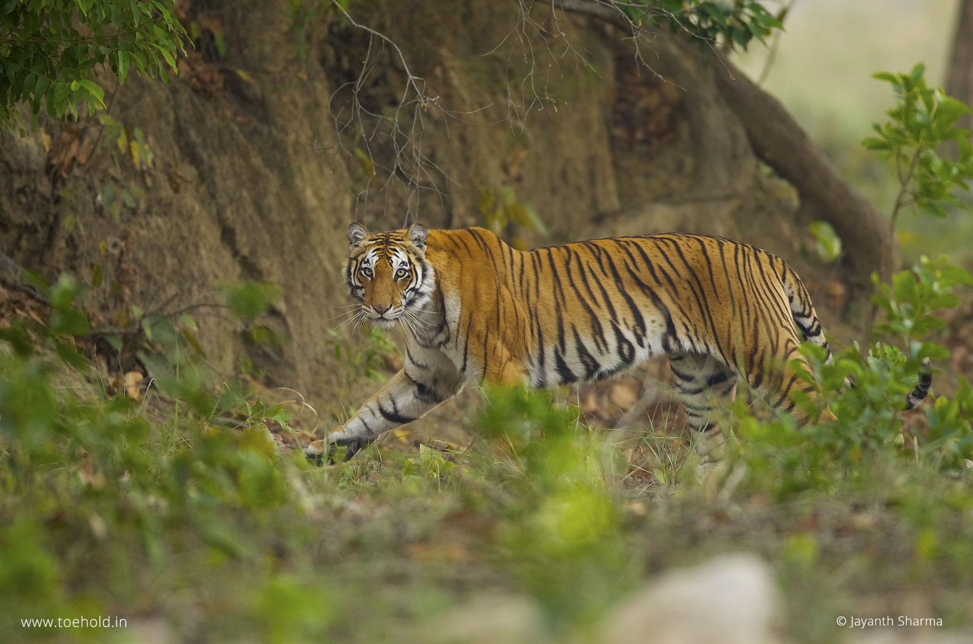 Tiger walking, Corbett