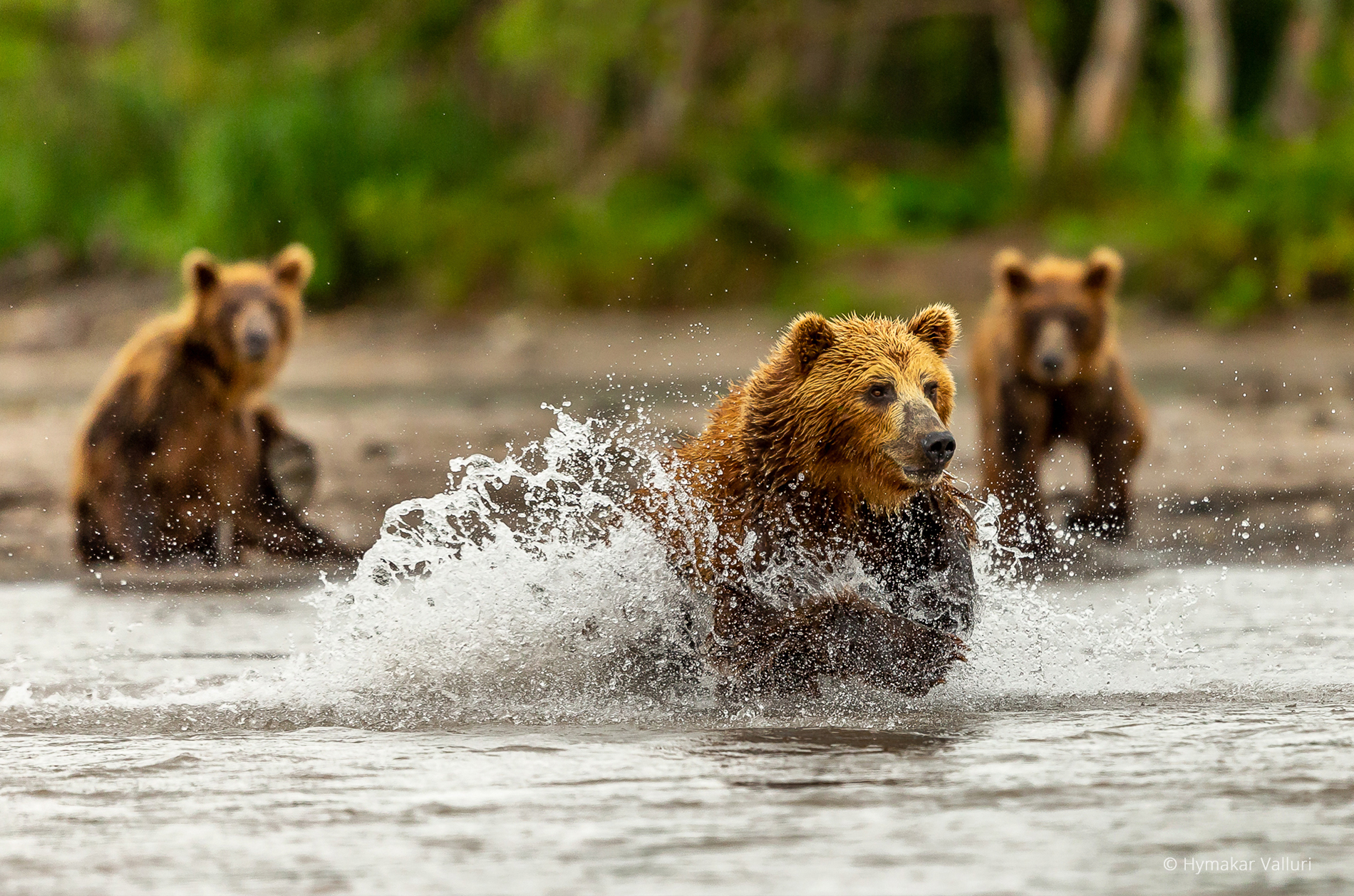 Brown bears, Kamchatka