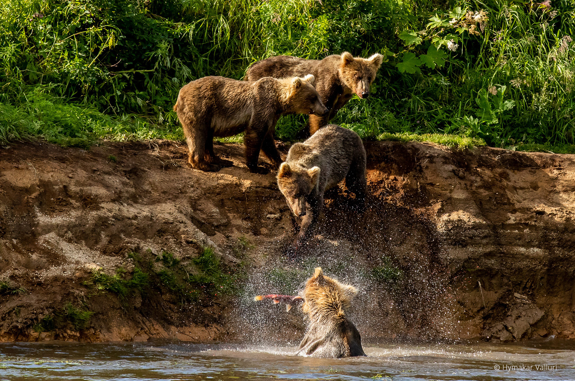 Brown bear family, Kamchatka
