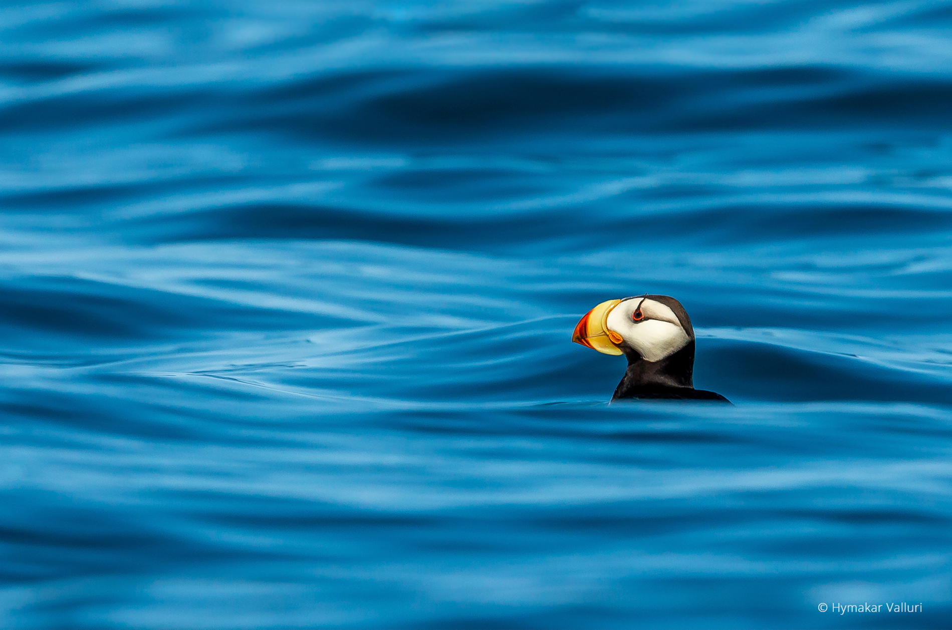Horned puffin, Kamchatka