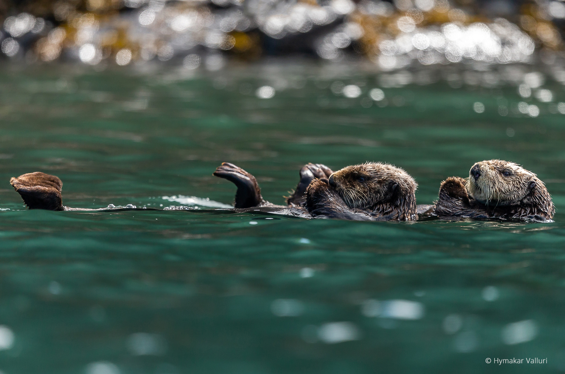 Sea otters, Kamchatka