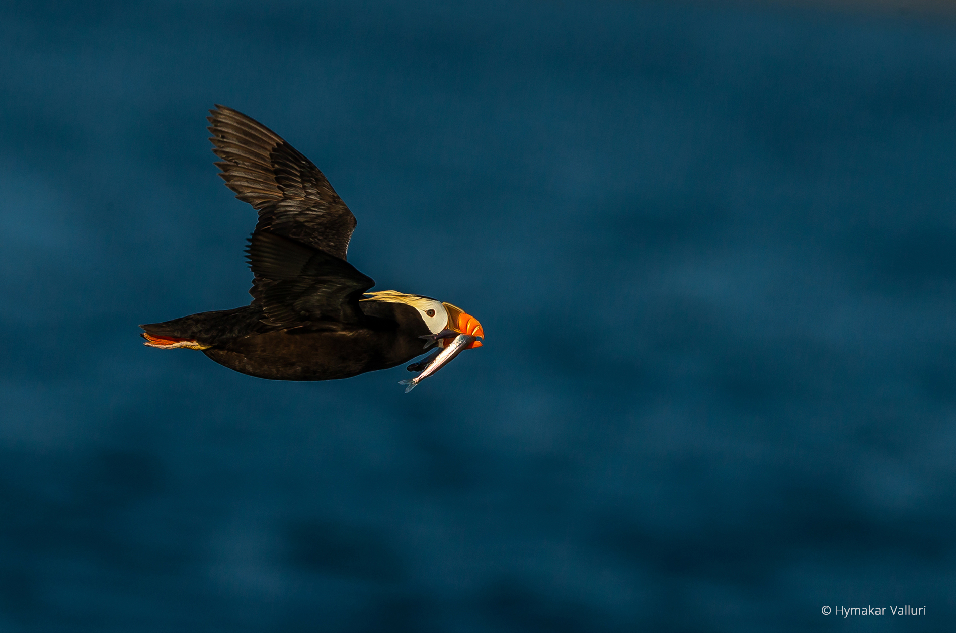 Tufted puffin, Kamchatka