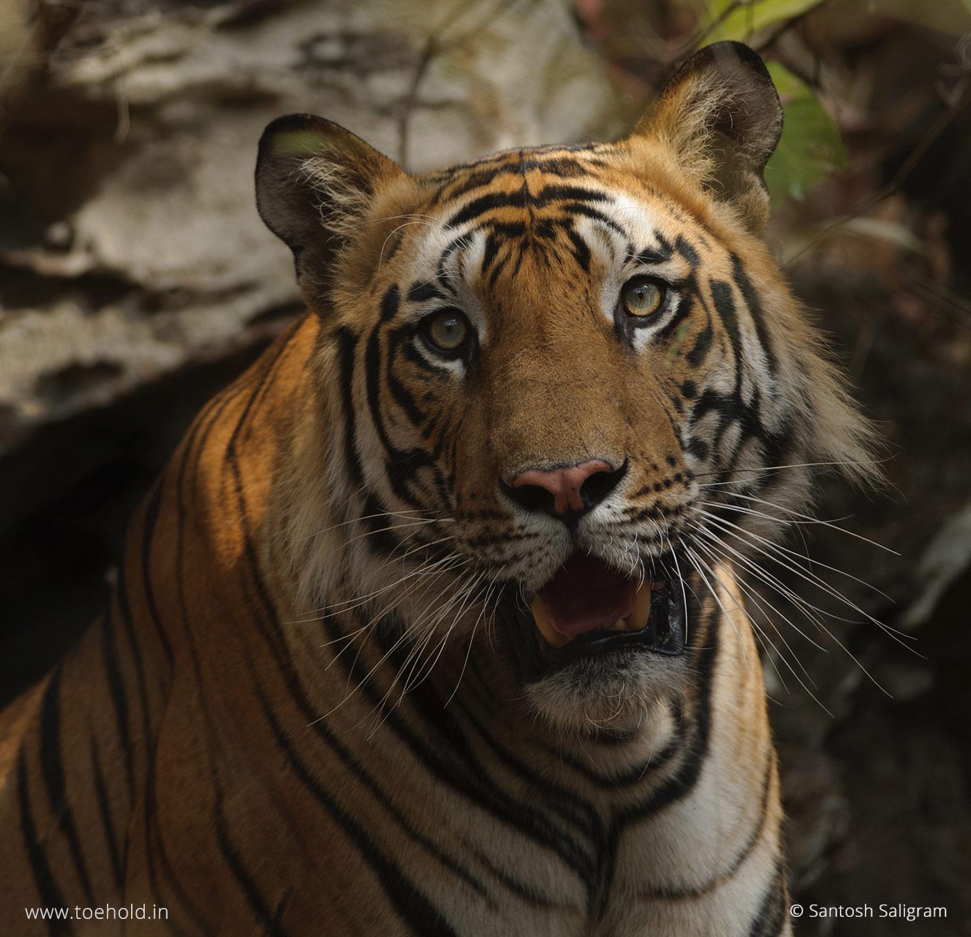 Kalua tiger