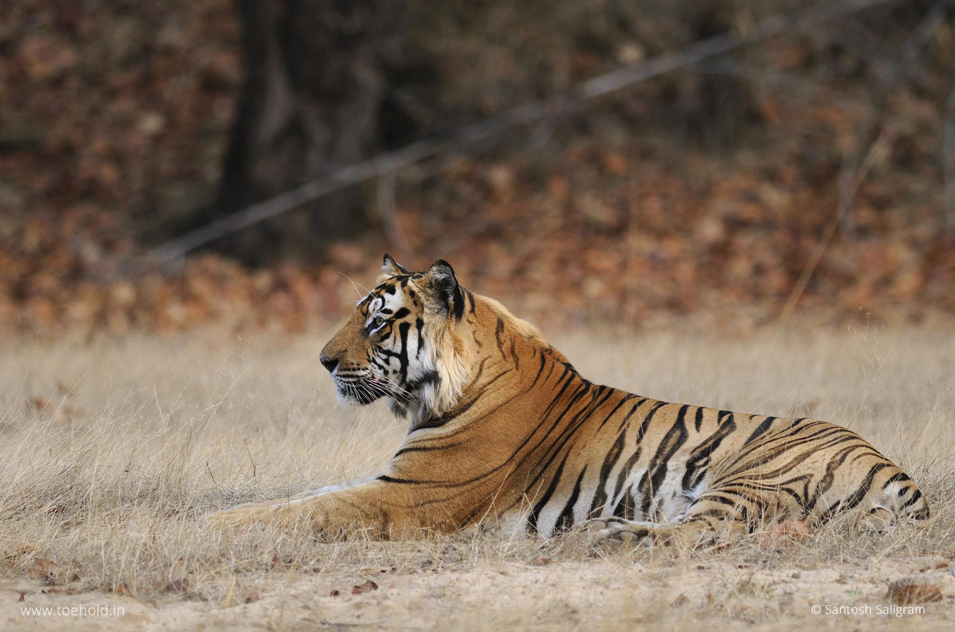 Bamera tiger, Bandhavgarh