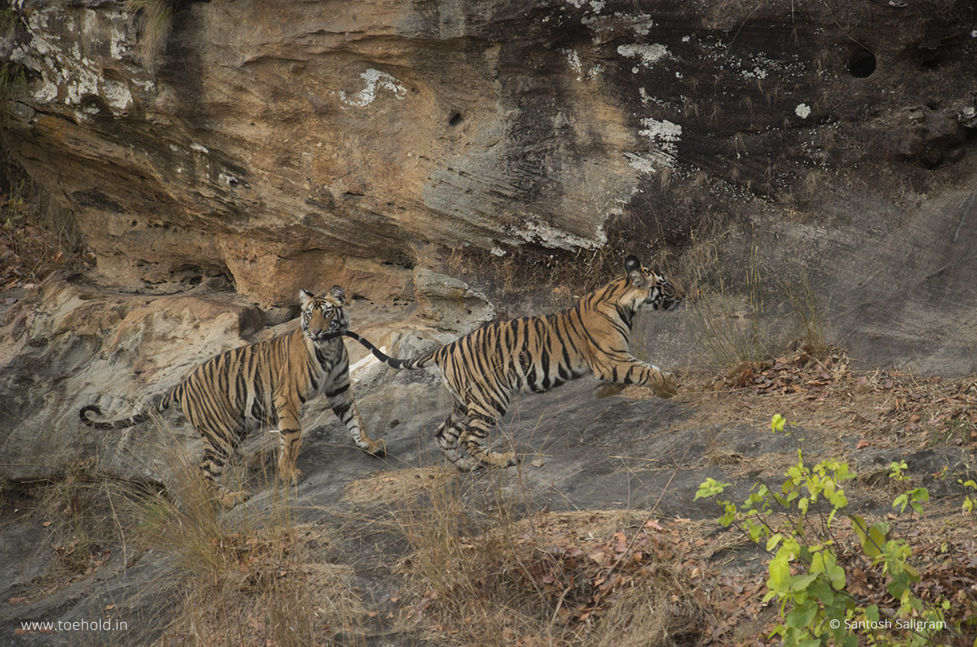Tiger cubs of the Banbehi Female, Bandhavgarh