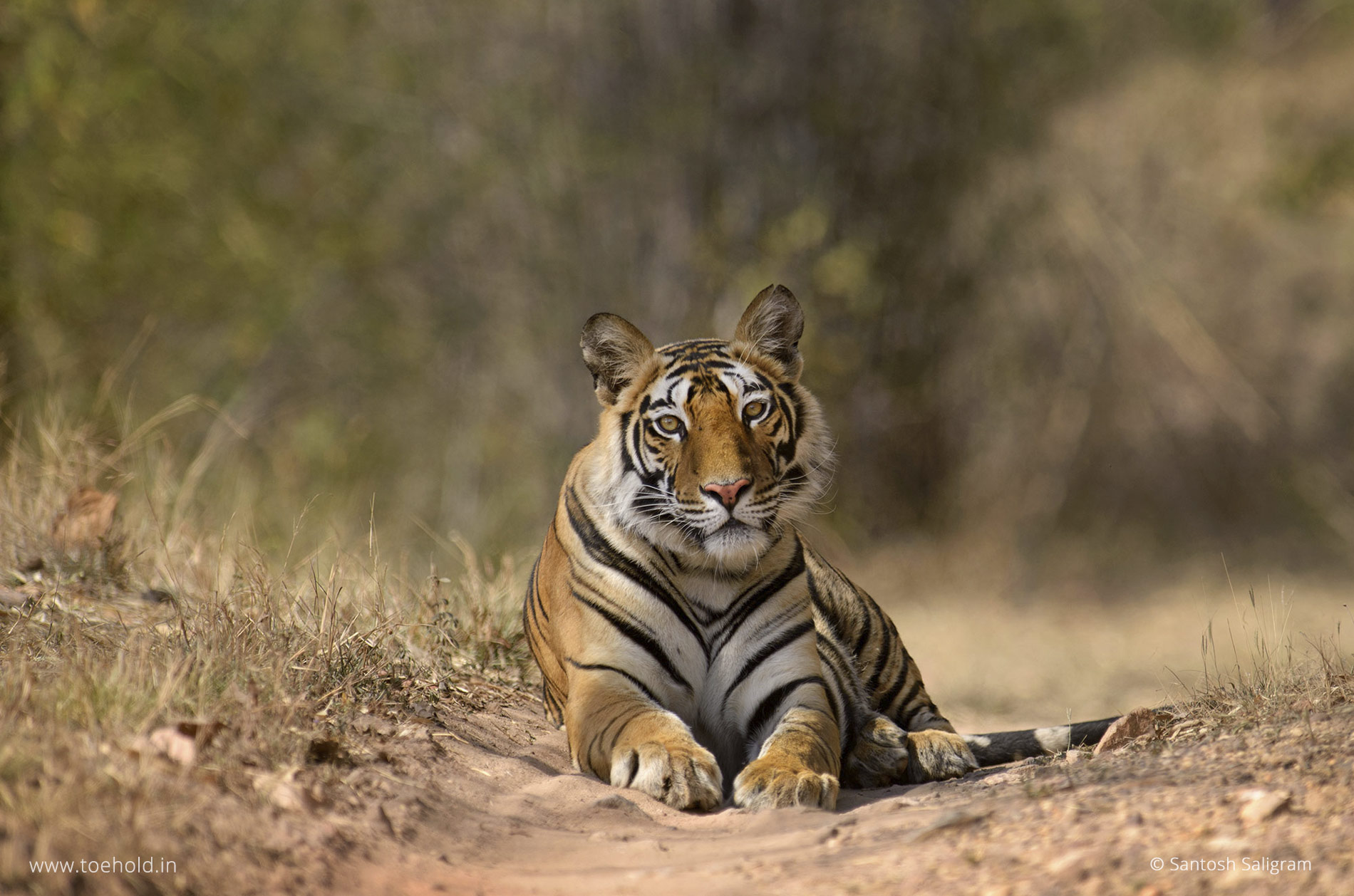 The female tiger cub of Banbehi Female, Bandhavgarh