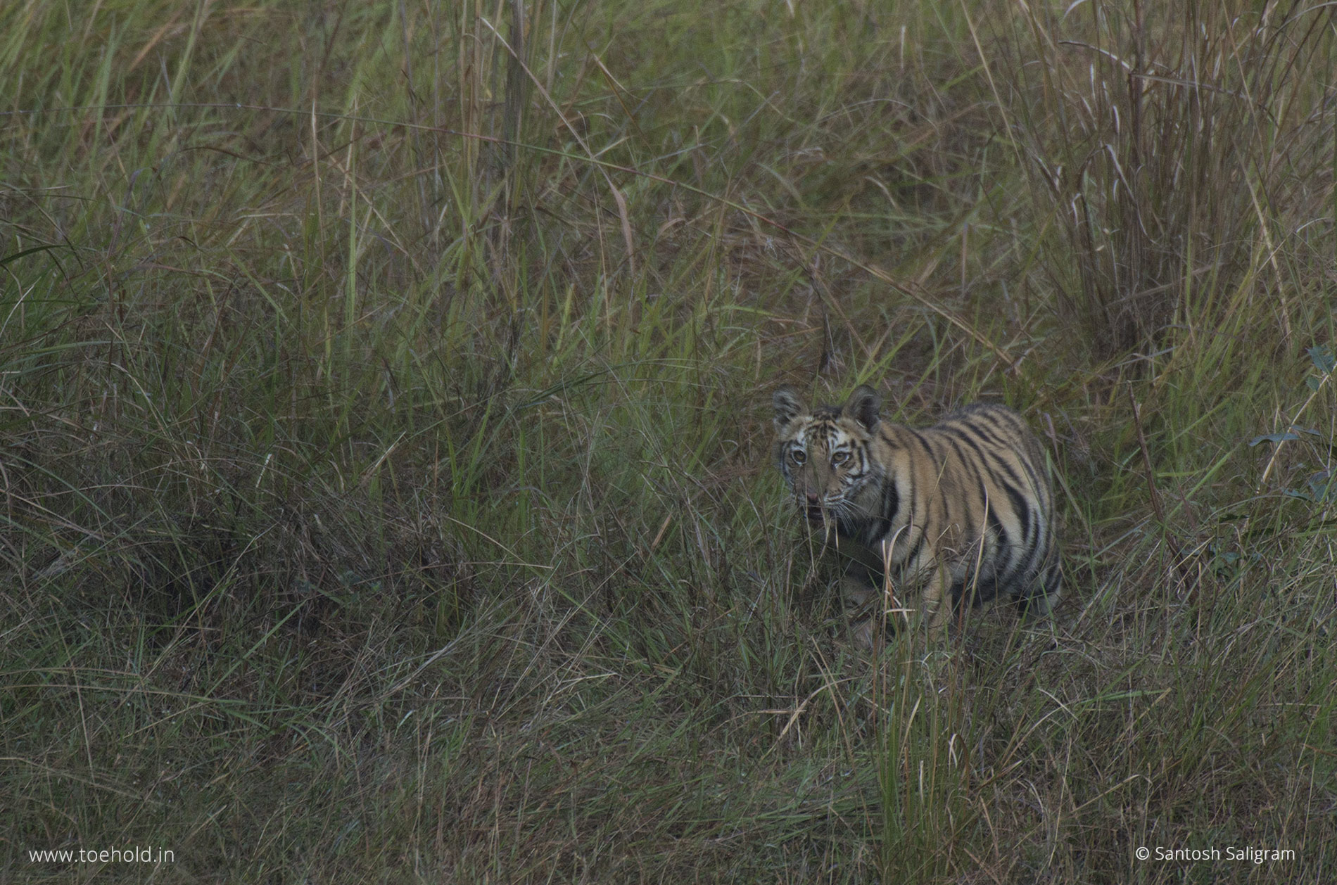 Banbehi Female litter, Bandhavgarh