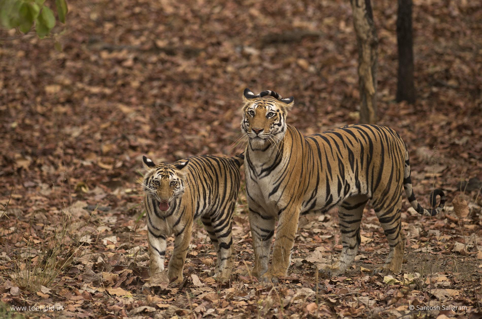 Spotty, Bandhavgarh tigress