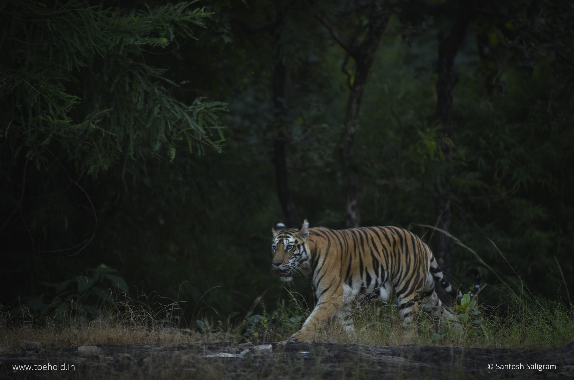 Banbehi Female in Bandhavgarh
