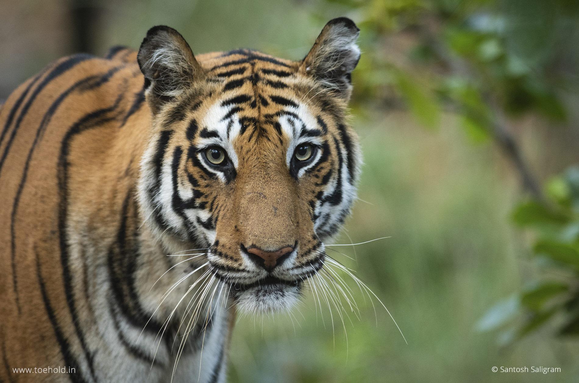 Spot-T - Spotty, Bandhavgarh tiger