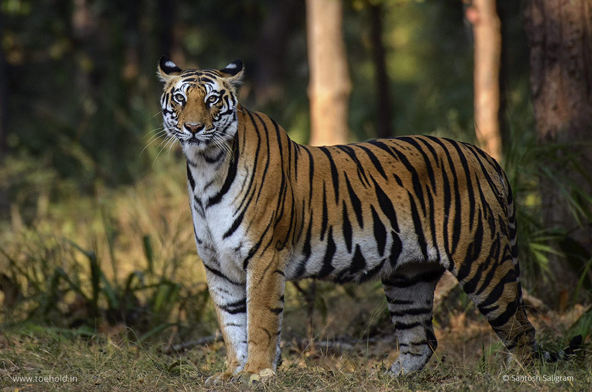 Sukhi Pateeha female, Bandhavgarh tiger