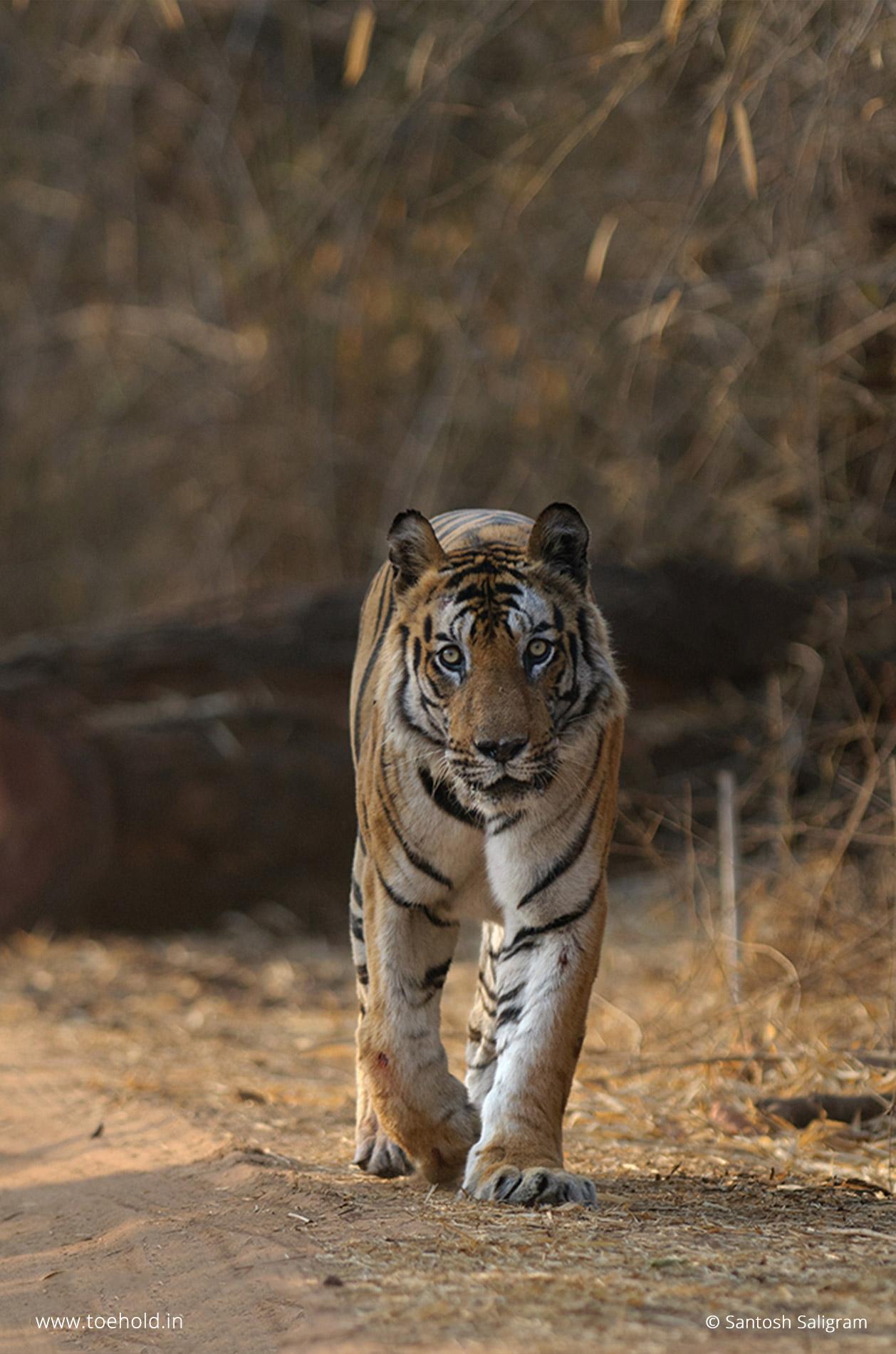 B2 tiger