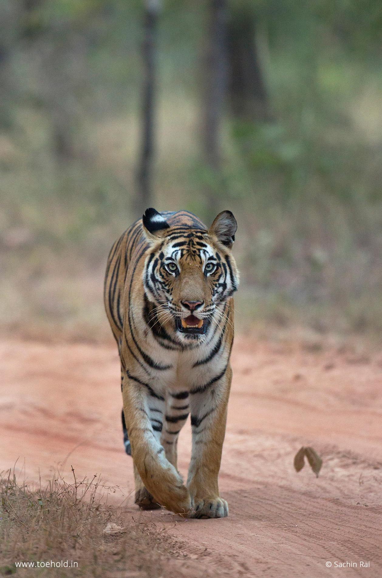 Dotty, Bandhavgarh tiger