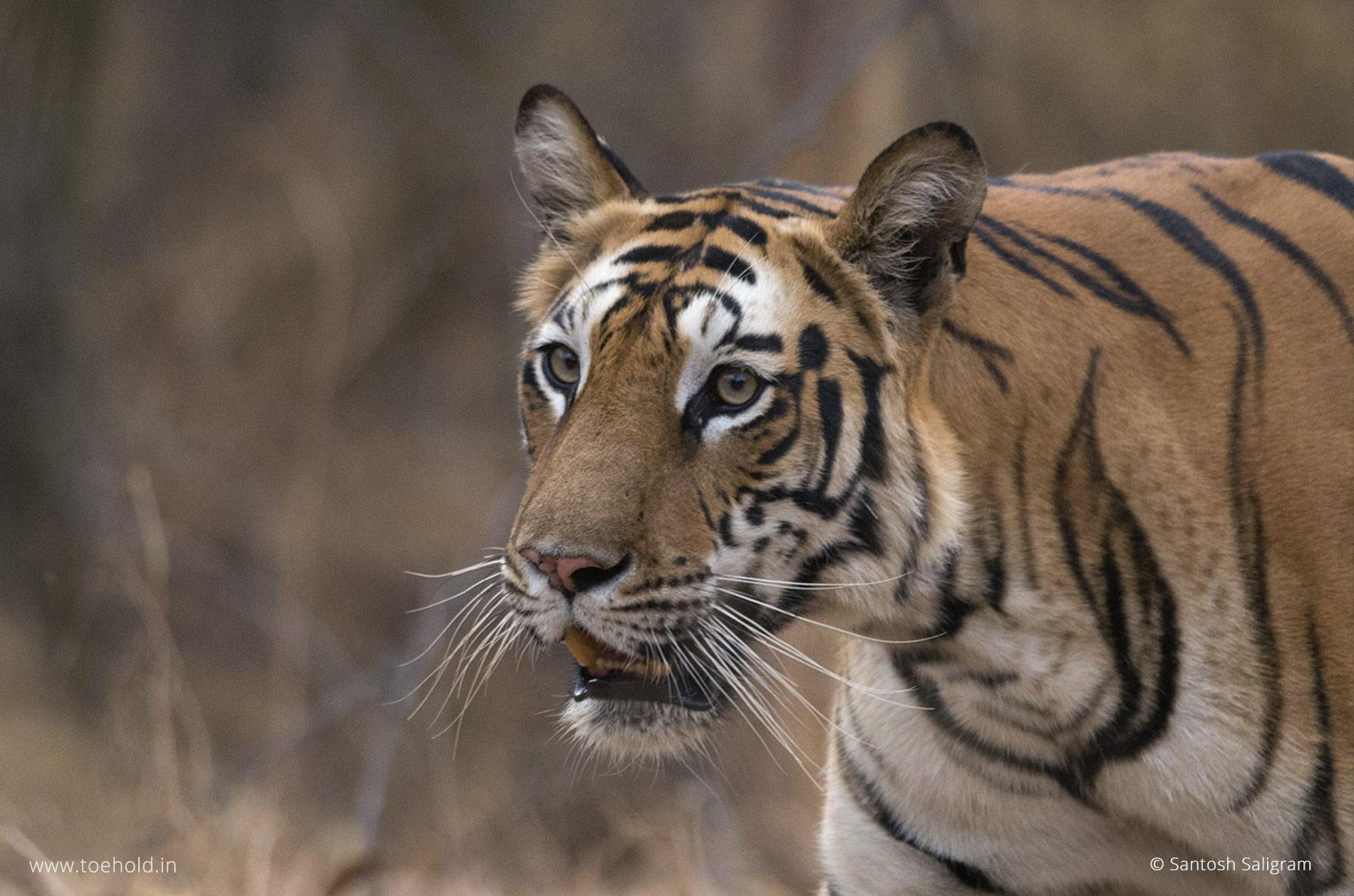 Mirchani, a Bandhavgarh tiger