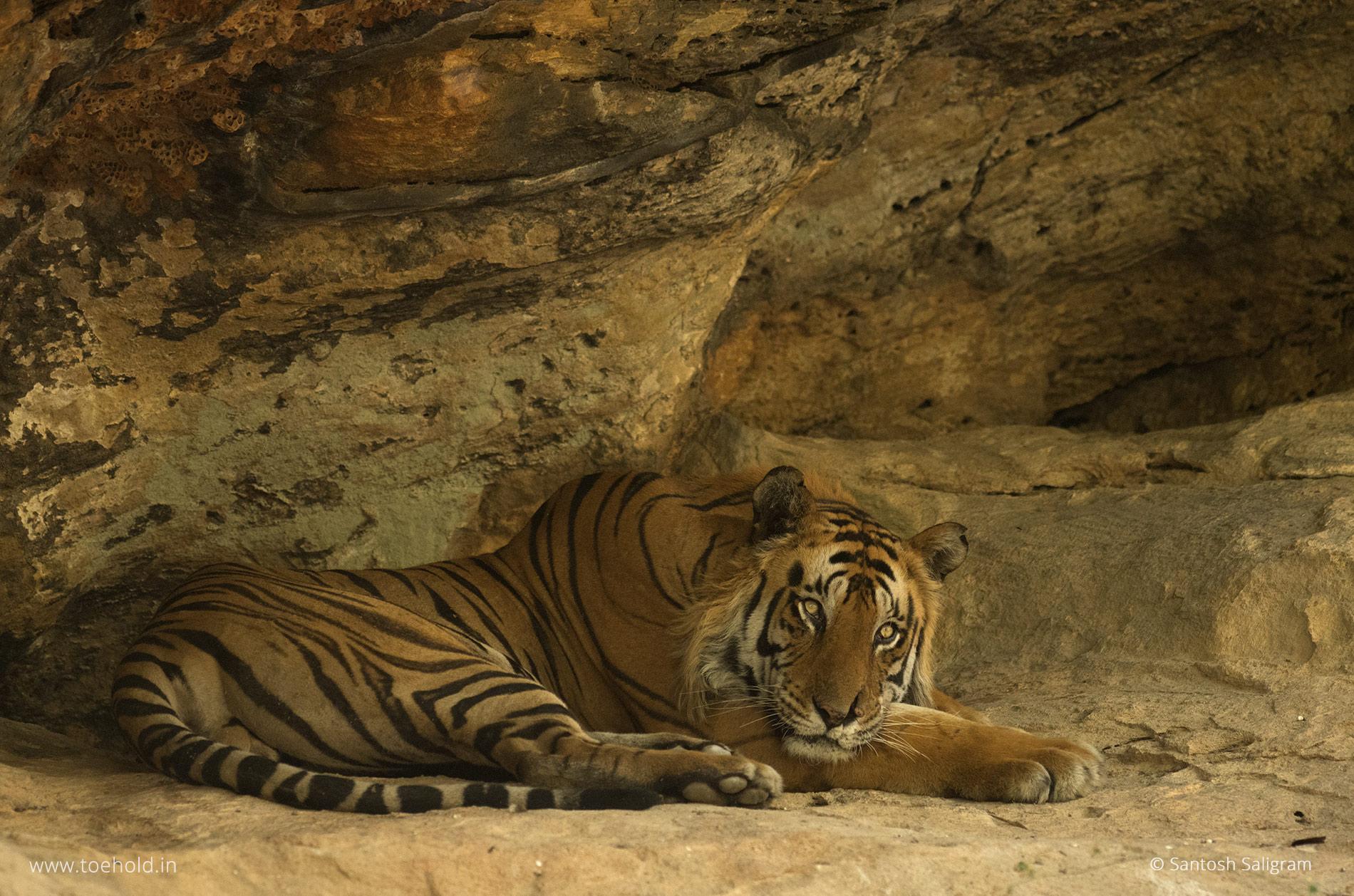 Mangu, Bandhavgarh tiger