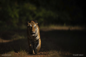 Spotty - the suave Bandhavgarh tiger