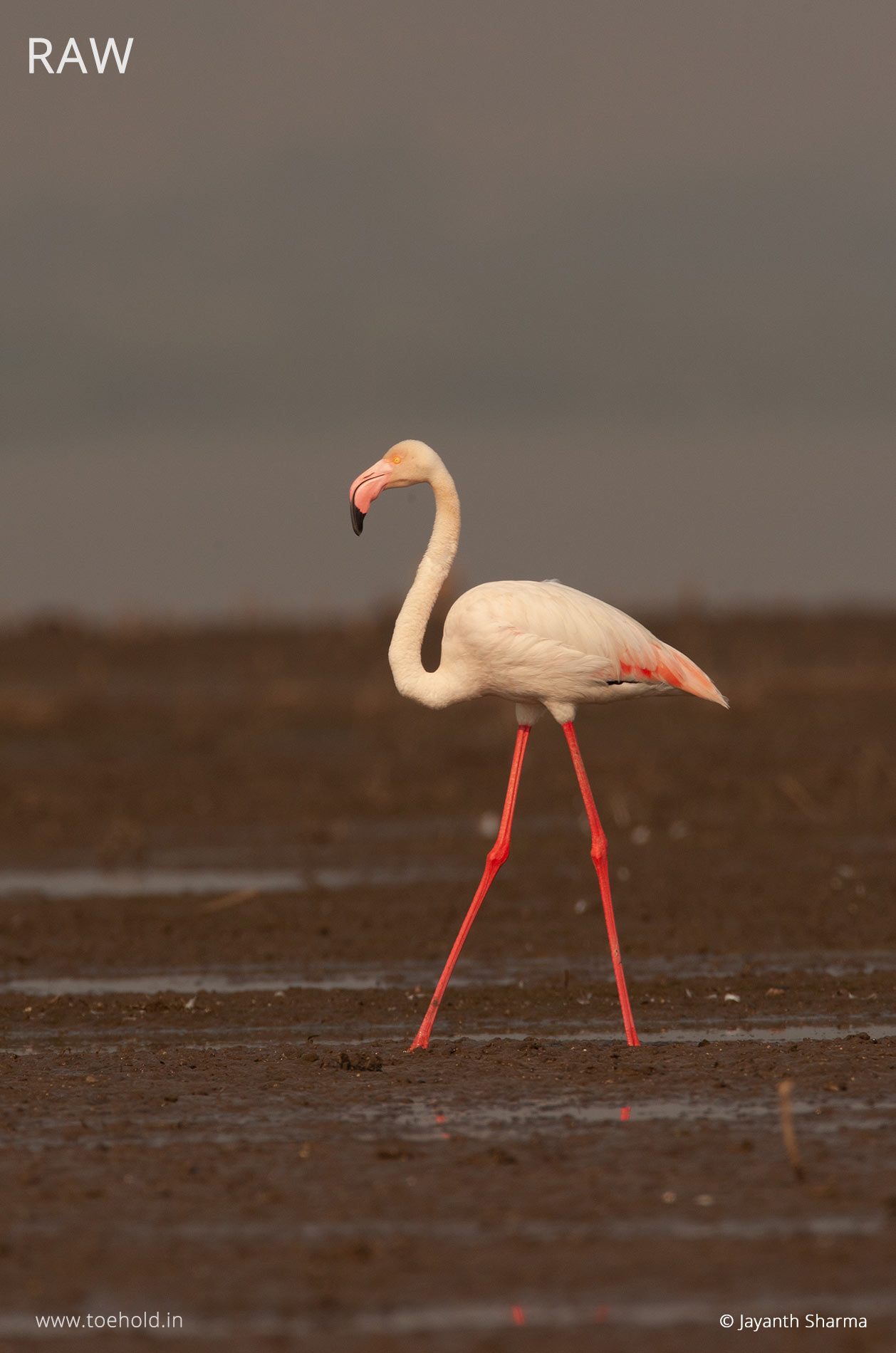 Flamingo raw