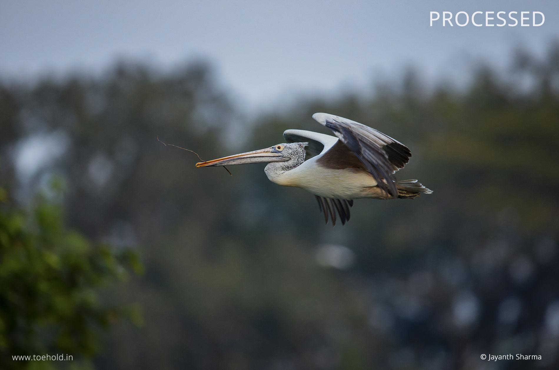 Pelican processed