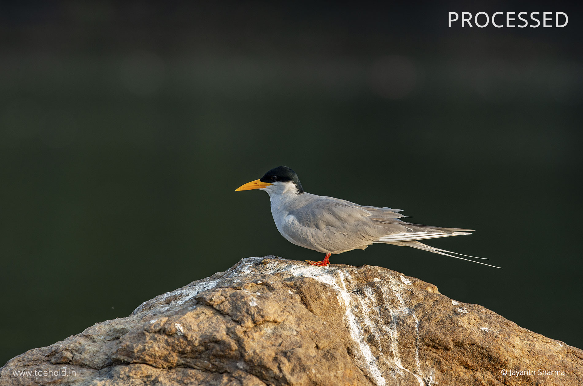 River tern processed