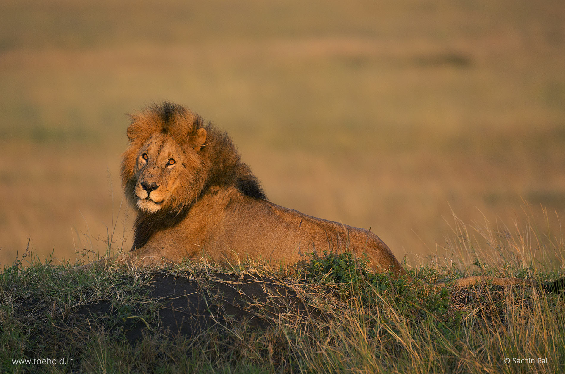 african-lion-kenya